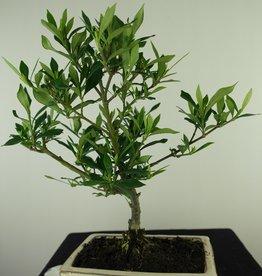 Bonsai Gardenia jasminoides, no. 7702