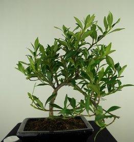 Bonsai Gardenia jasminoides, no. 7703