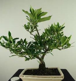 Bonsai Gardenia jasminoides, no. 7704