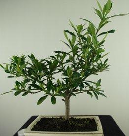 Bonsai Gardenia jasminoides, no. 7705