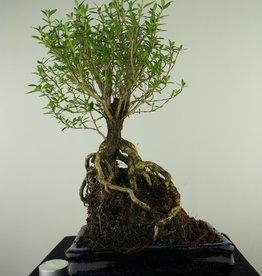 Bonsai Junischnee, Serissa foetida, nr. 7706