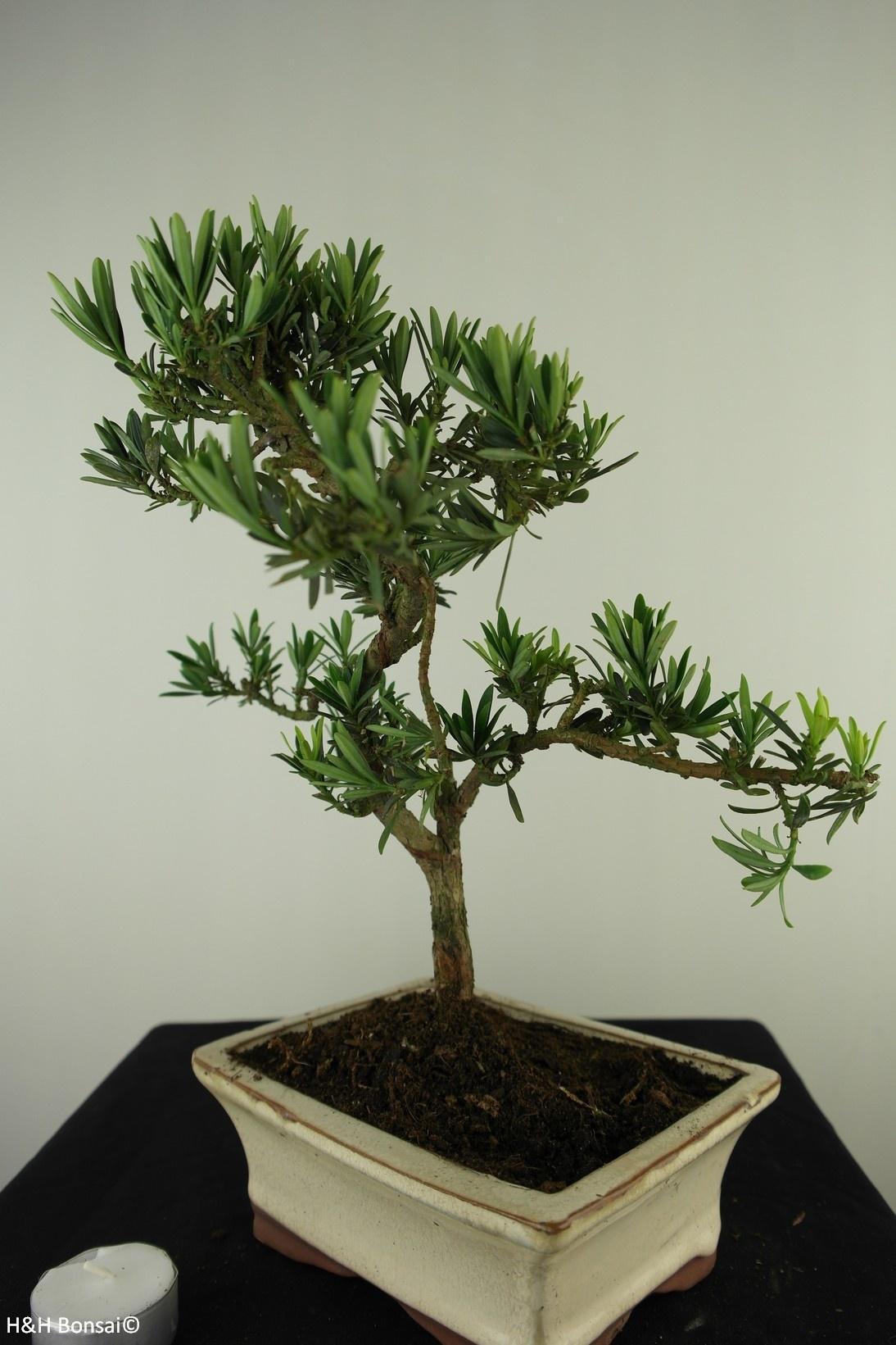 Bonsai Chin. Steineibe, Podocarpus, nr. 7715