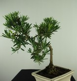 Bonsai Chin. Steineibe, Podocarpus, nr. 7716