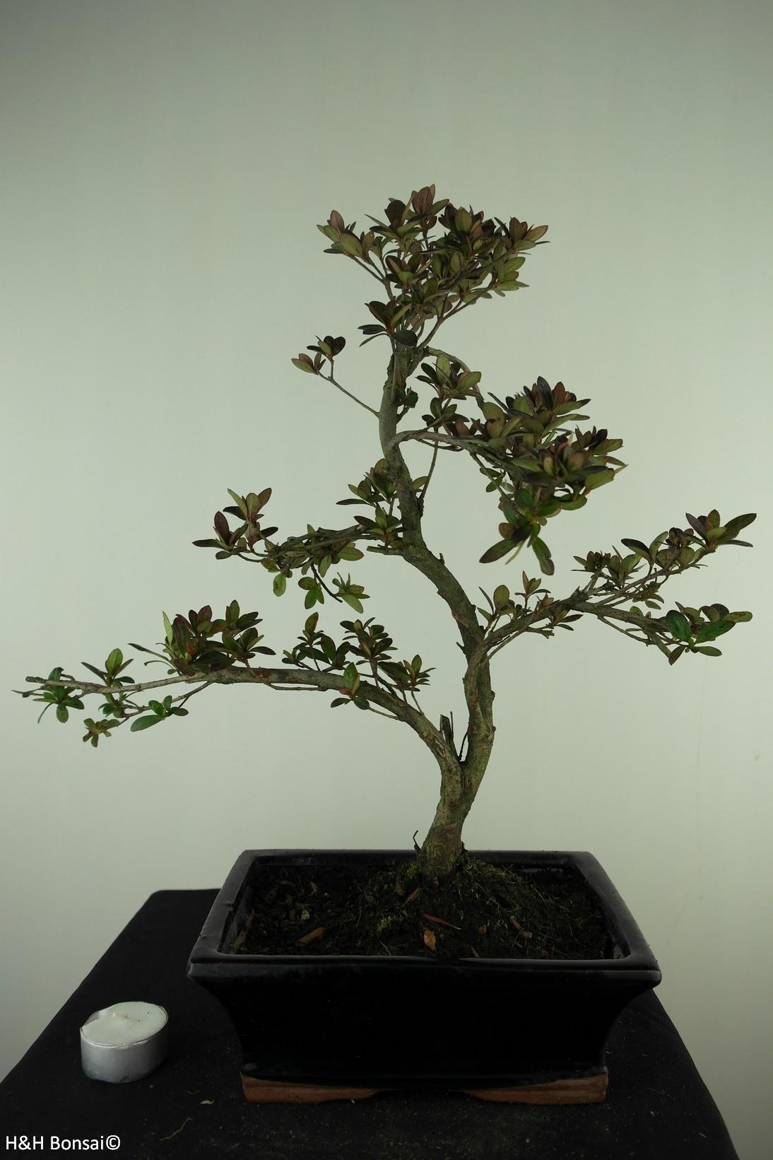 Bonsai Azalee, Azalea Rhododendron indicum, nr. 7731