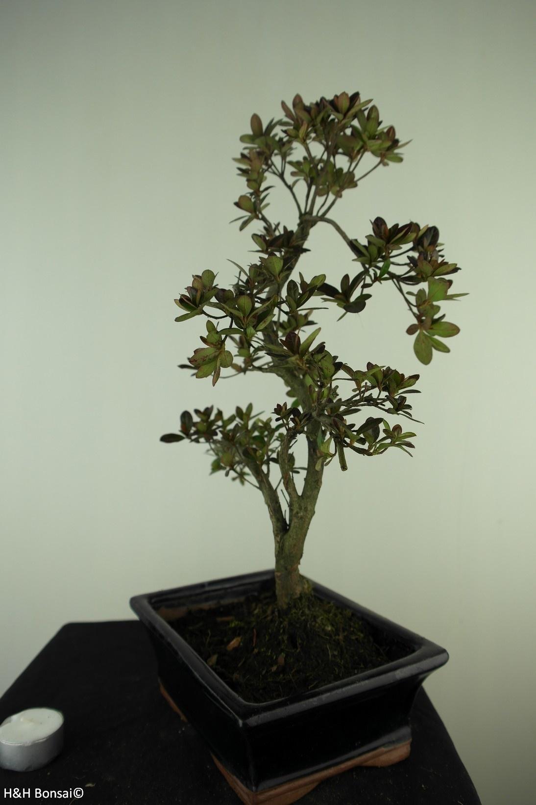 Bonsai Azalea Rhododendron indicum, no. 7731
