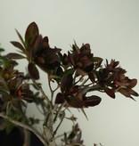 Bonsai Azalee, Azalea Rhododendron indicum, nr. 7733