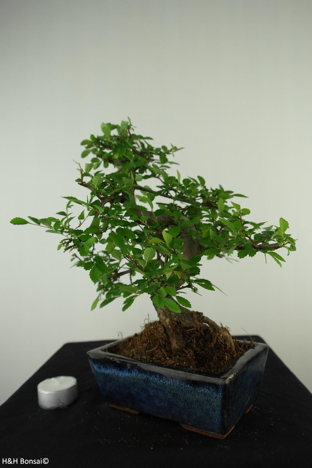 Bonsai Chin. Ulme, Ulmus, nr. 7737