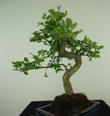 Bonsai Chin. Ulme, Ulmus, nr. 7739