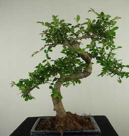 Bonsai Chinese Elm, Ulmus, no. 7740