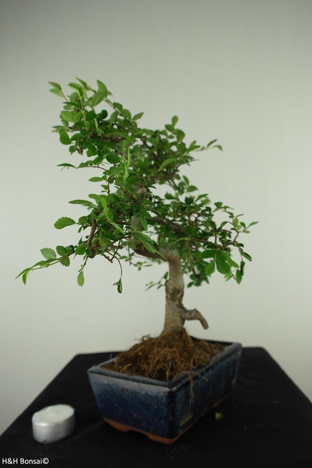 Bonsai Chin. Ulme, Ulmus, nr. 7740