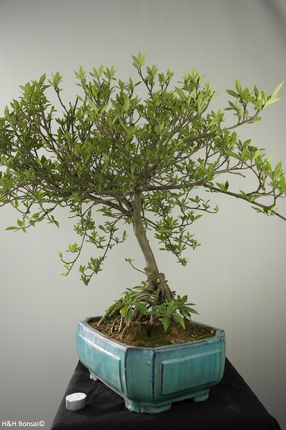 Bonsai Gardenie, Gardenia jasminoides, nr. 7749