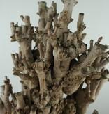 Bonsai Fächerblattbaum,Ginkgo biloba, nr. 7757