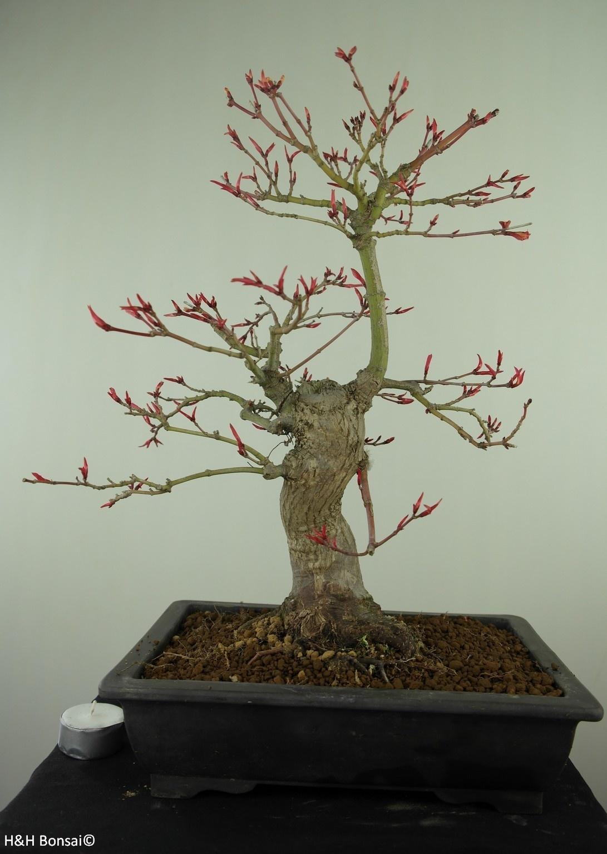 Bonsai Jap. Fächerahorn, Acer palmatum, nr. 7766