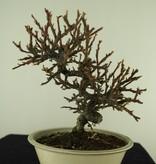 Bonsai Shohin Zwergmispel, Dwergmispel, nr. 7771
