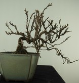 Bonsai Shohin Fingerstrauch, Potentilla fruticosa, nr. 7776