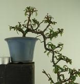 Bonsai Shohin Cotoneaster, no. 7777