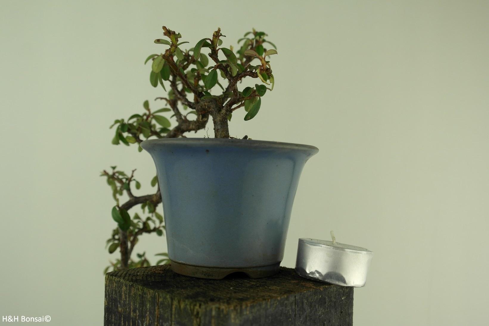 Bonsai Shohin Zwergmispel, Dwergmispel, nr. 7777