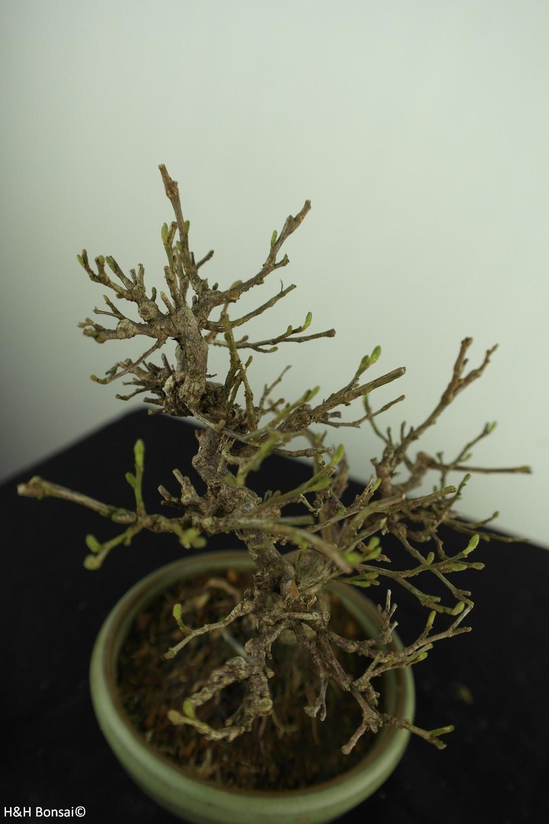 Bonsai Shohin Japanische Storaxbaum, Styrax japonicus,nr. 7790