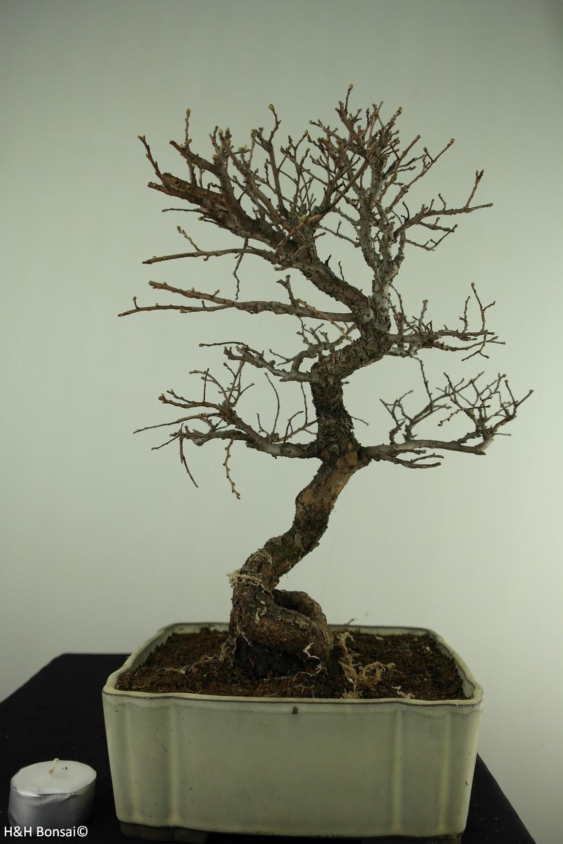 Bonsai Schwarze Zelkove, Zelkova nire, nr. 7793