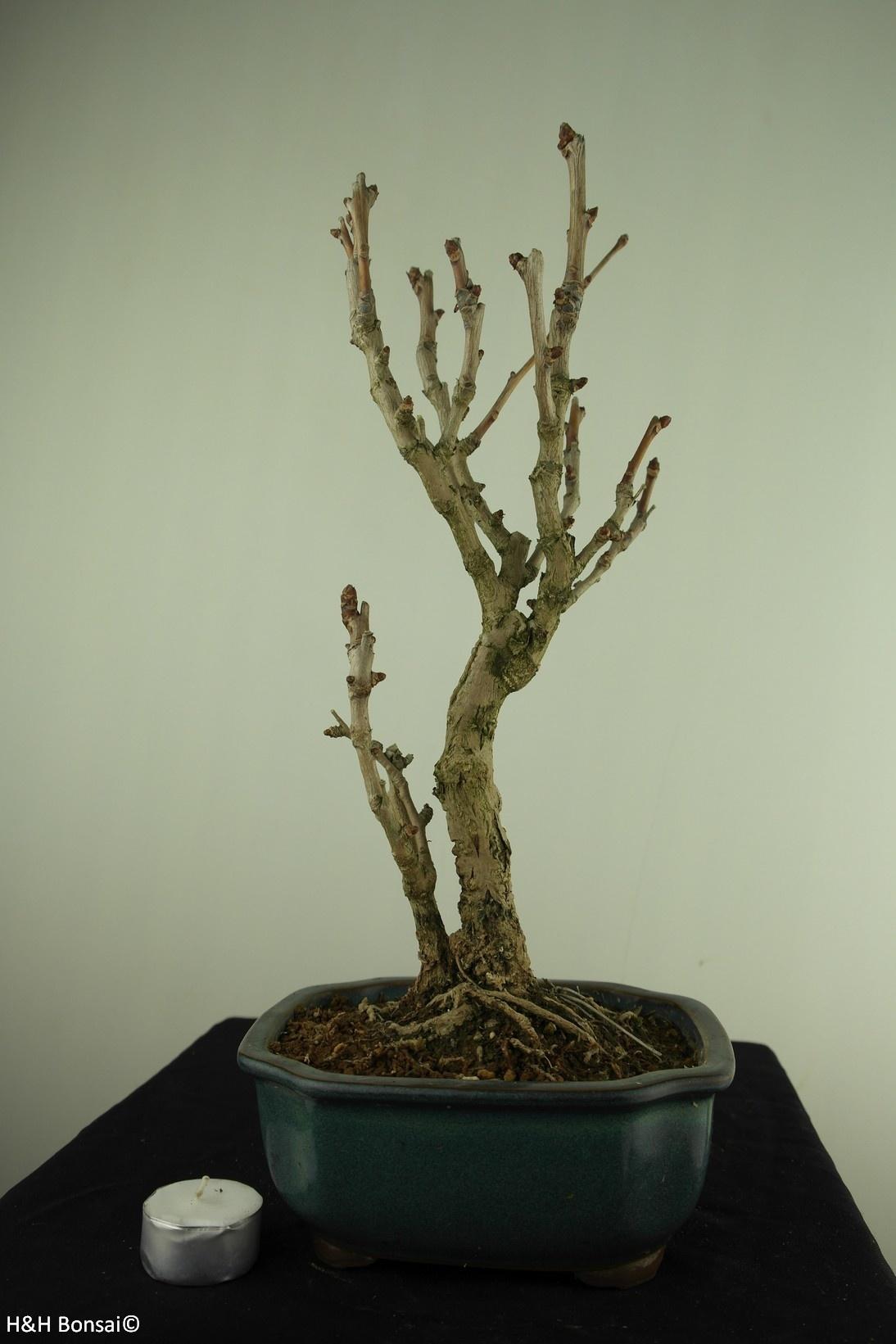 Bonsai Fächerblattbaum,Ginkgo biloba, nr. 7795
