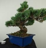 Bonsai Mädchenkiefer, Pinus pentaphylla, nr. 7802
