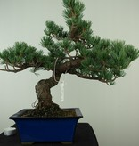 Bonsai Japanese White Pine, Pinus pentaphylla, no. 7802A