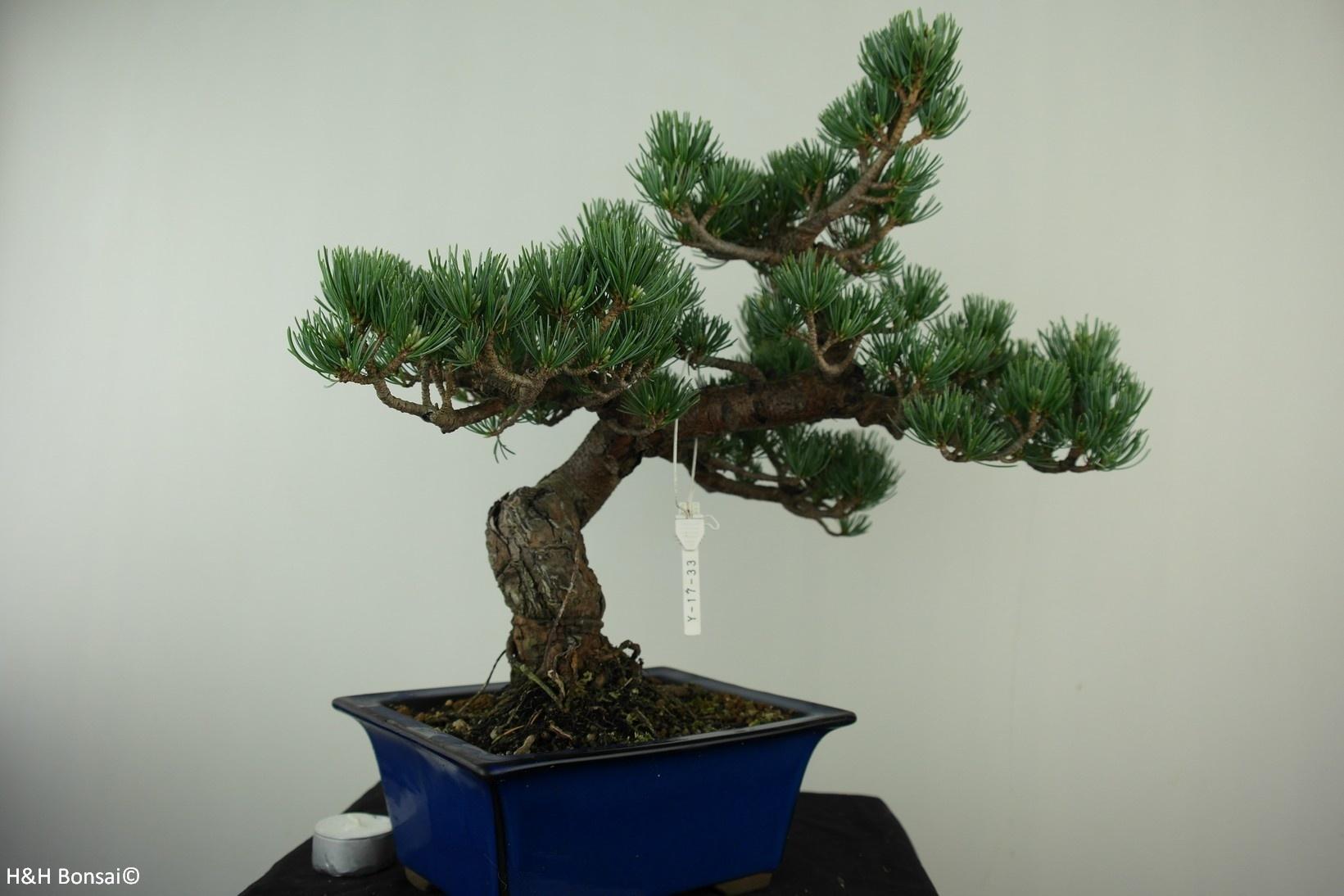 Bonsai Mädchenkiefer, Pinus pentaphylla, nr. 7802A