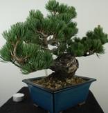 Bonsai Mädchenkiefer, Pinus pentaphylla, nr. 7804