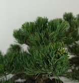 Bonsai Japanese White Pine, Pinus pentaphylla, no. 7805