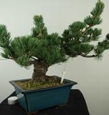 Bonsai Mädchenkiefer, Pinus pentaphylla, nr. 7807