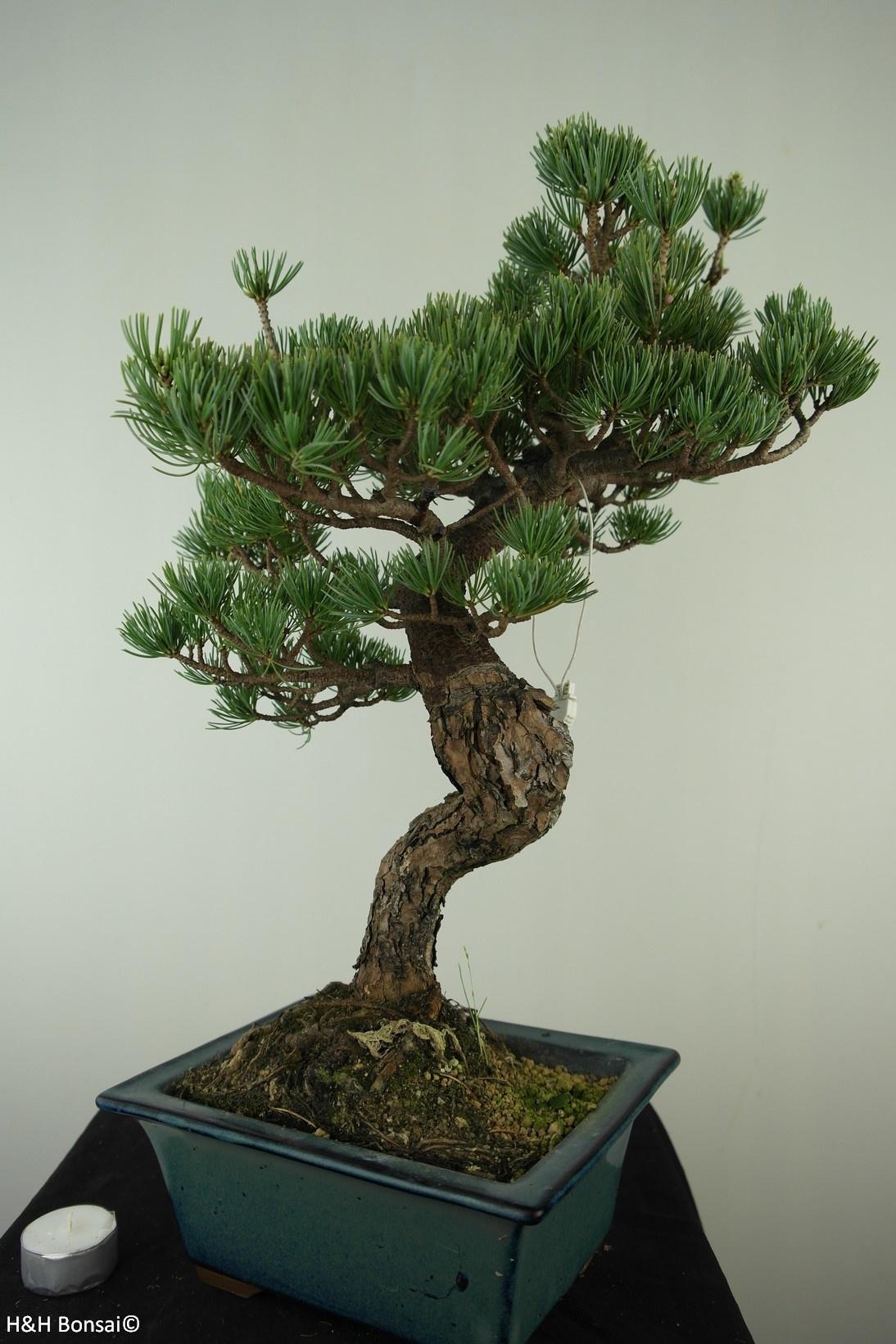 Bonsai Mädchenkiefer, Pinus pentaphylla, nr. 7809