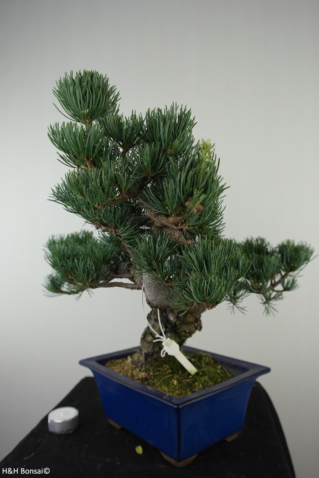 Bonsai Mädchenkiefer, Pinus pentaphylla, nr. 7810