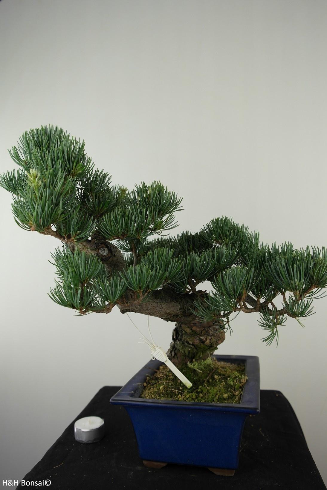 Bonsai Japanese White Pine, Pinus pentaphylla, no. 7810