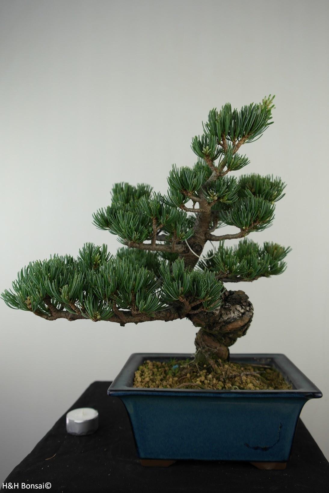 Bonsai Mädchenkiefer, Pinus pentaphylla, nr. 7811
