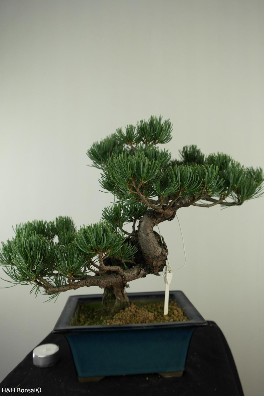 Bonsai Mädchenkiefer, Pinus pentaphylla, nr. 7812