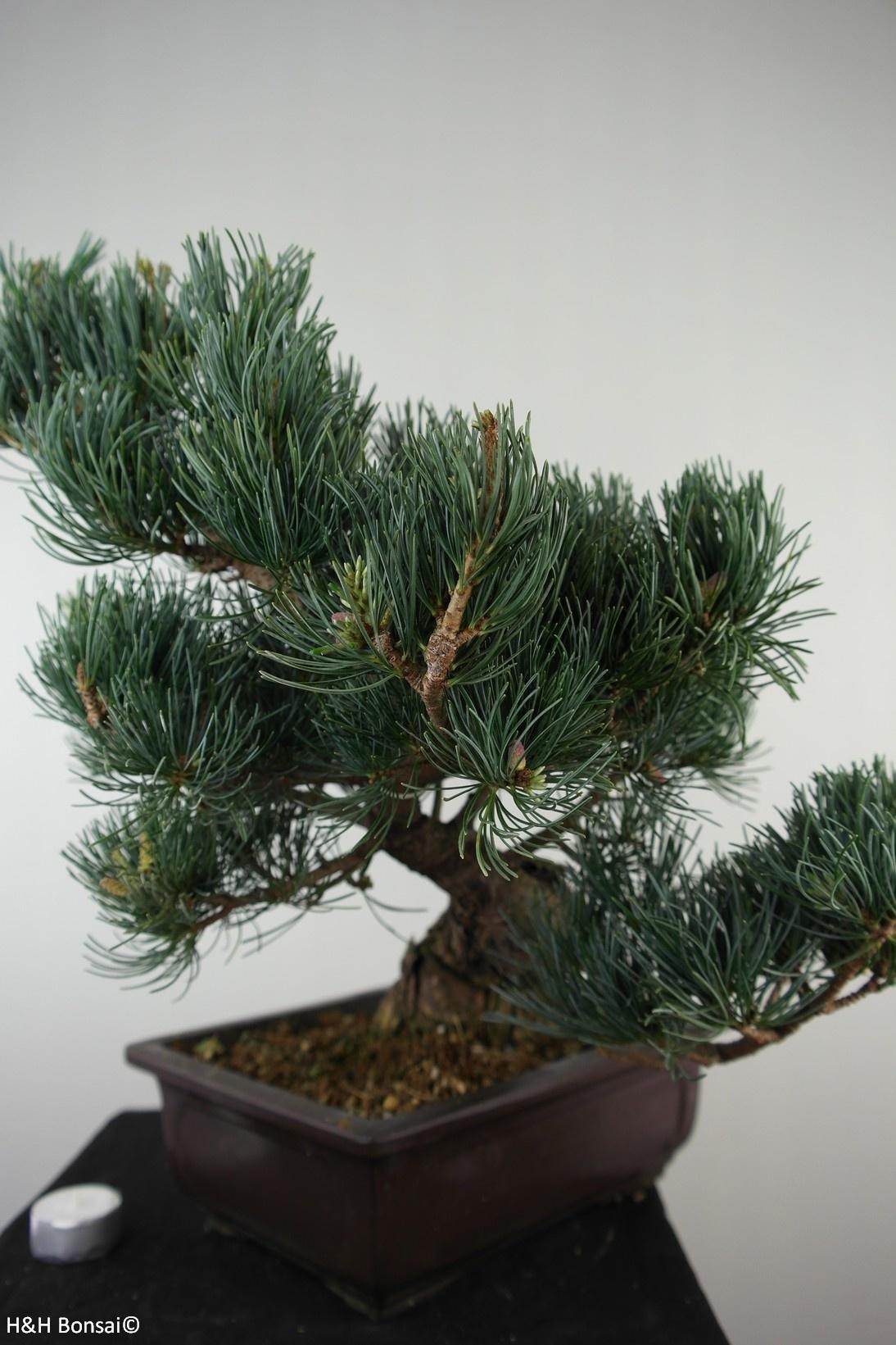 Bonsai Mädchenkiefer, Pinus pentaphylla, nr. 7813