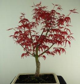 Bonsai Jap. Fächerahorndeshojo, Acer palmatum deshojo, nr. 7427