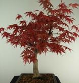 Bonsai Jap. Fächerahorn, Acer palmatum, nr. 7652