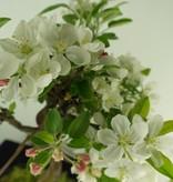 Bonsai Apfel, Malus halliana, nr. 7663