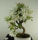 Bonsai Apfel, Malus halliana, nr. 7665