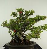 Bonsai Japanische Zierquitte, Chaenomeles japonica, no. 7796