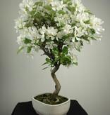 Bonsai Apfel, Malus halliana, nr. 6609