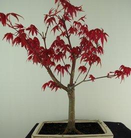 Bonsai Jap. Fächerahorndeshojo, Acer palmatum deshojo, nr. 7408