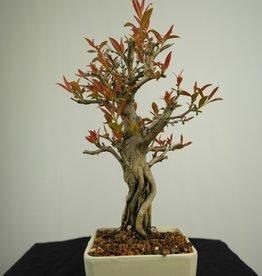 Bonsai Pomegranate, Punica granatum, no. 7523