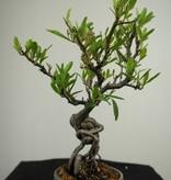 Bonsai Feuerdorn, Pyracantha, nr. 7526
