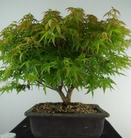 Bonsai Jap. Fächerahorn kiyohime, Acer palmatum kiyohime, nr. 7533