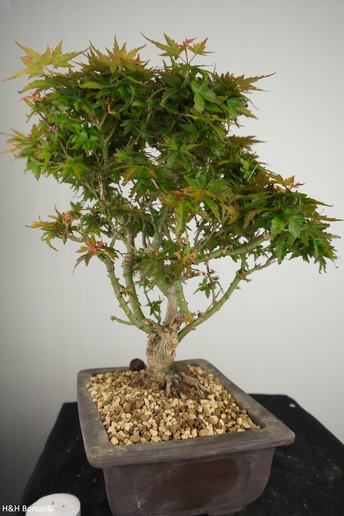 Bonsai Jap. Fächerahorn Kotohime, Acer palmatum Kotohime, nr. 7694