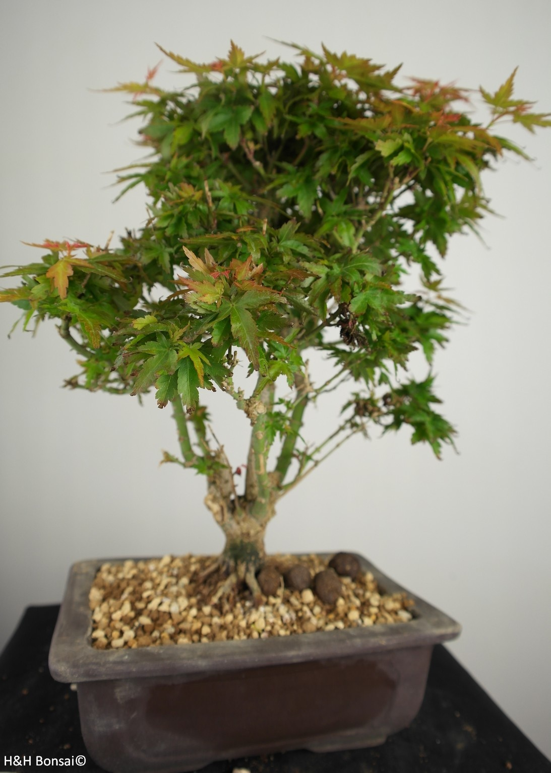 Bonsai Japanese Maple Kotohime, Acer palmatum Kotohime, no. 7694