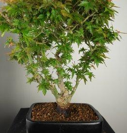 Bonsai Jap. Fächerahorn Kotohime, Acer palmatum Kotohime, nr. 7695