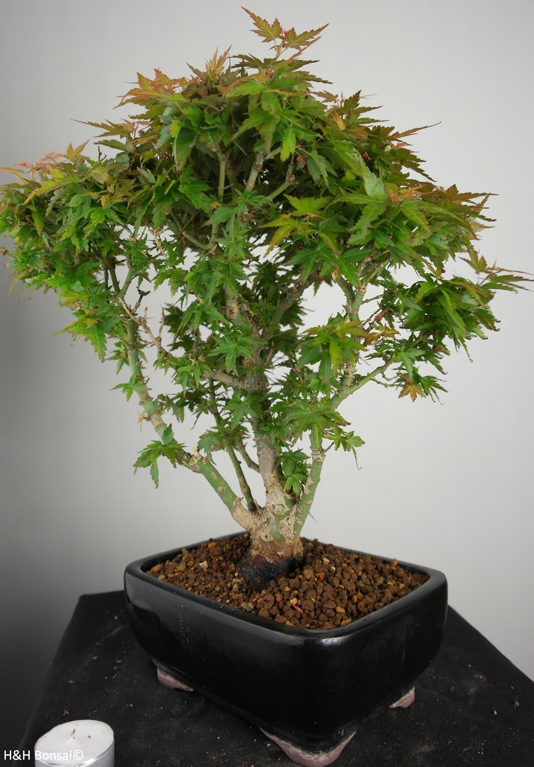 Bonsai Japanese Maple Kotohime, Acer palmatum Kotohime, no. 7695